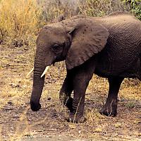 Africa, Tanzania, Lake Manyara. A young African elephant alone.