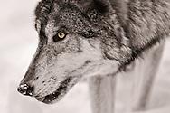 Timber Wolf, Lakota Wolf Preserve, Columbia, New Jersey