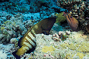 hunting partners, undulated moray eel, Gymnothorax undulatus, and peacock grouper, Cephalopholis argus, set out together; grouper will guard exit while eel hunts fish inside coral head, Helengeli, Maldives ( Indian Ocean )