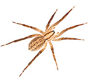 Zora spinimana is a common spider that hunts through grass tussocks. The yellow-brown colour matching dead grass leaves.