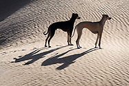 Two Sloughi dogs (Arabian greyhound) in the Sahara desert of Morocco.