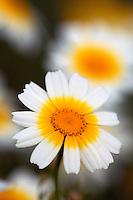 Crown Daisy (Chrysanthemum coronarium), April, Kritsa, Crete