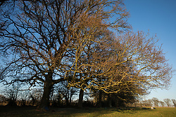 Great Missenden, UK. 28th February, 2021. A row of oak trees along Leather Lane is pictured from a nearby field. Environmental activists from HS2 Rebellion have recently occupied the trees and set up a camp nearby following local reports that around twelve of the oak trees are threatened with felling for temporary works associated with the HS2 high-speed rail link.