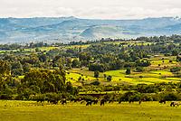 Cattle grazing, Amhara region, Ethiopia.