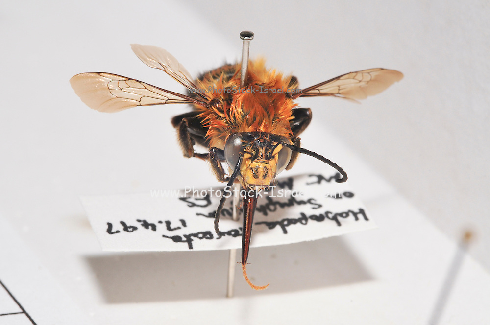 Israeli Wild Bee collection of different species - bees collected in Israel single specimen