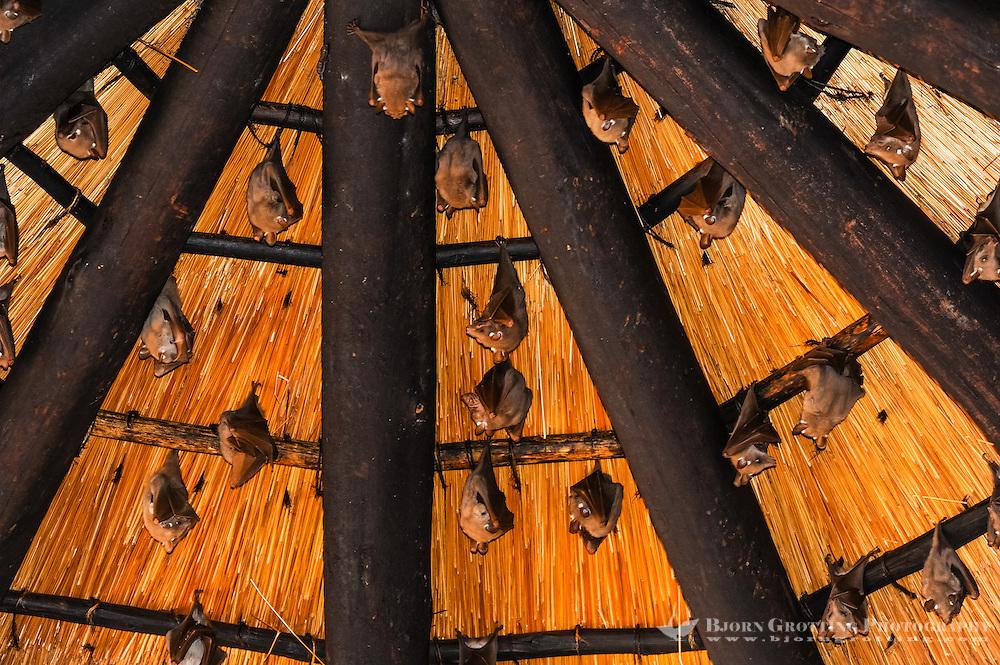 Peter's epauletted fruit bats at Skukuza camp. Kruger National Park, South Africa.