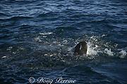 sardine rolls down the head of copper shark or bronze whaler ( Carcharhinus brachyurus ) feeding on bait ball of sardines, Sardinops sagax, during annual Sardine Run off the Wild Coast ( Transkei ) of South Africa at Mboyti ( Indian Ocean )