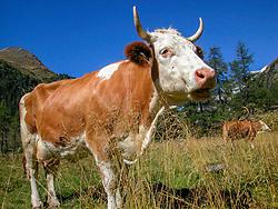 THEMENBILD - Deutsche Wanderin stirbt nach Kuh-Attacke, Landwirt muss mehr als 180.000 Euro bezahlen. Mit massiven finanziellen Folgen hat ein Bauer zu kämpfen, dessen Kuhherde eine deutsche Hundehalterin zu Tode getrampelt hat. Ein Gericht in Österreich sorgte mit seinem Urteil für Aufsehen. Die 45 Jahre alte Hundehalterin aus Rheinland-Pfalz war im Sommer 2014 im Tiroler Stubaital von der Kuhherde, die offenbar die Kälber vor dem Hund schützen wollte, zu Tode getrampelt worden. Die Frau hatte laut Gericht die Hundeleine mit einem Karabiner um die Hüfte fixiert. Bild Aufgenommen am 05.09.2003 // German wanderer dies after cow attack, farmer must pay more than 180,000 euros. With massive financial consequences has a farmer to fight, whose cow herd has trampled a German dog owner to death. A court in Austria caused a stir with his judgment. The 45-year-old dog owner from Rheinland-Pfalz was trampled to death in summer 2014 in the Tyrolean Stubai Valley by the herd of cattle, who apparently wanted to protect the calves from the dog. The woman had loud court the dog leash with a carabiner around the waist fixed. Picture taken on 05.09.2003. EXPA Pictures © 2019, PhotoCredit: EXPA/ Johann Groder