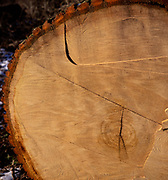 A01XE2 Tree growth rings oak tree