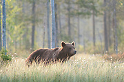 European Brown Bear, Ursus arctos arctos, Kuhmo, Finland, Lentiira, Vartius near Russian Border, foraging at edge of forest, early morning sunrise