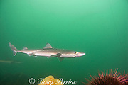 spiny dogfish, piked dogfish, spurdog, or dog shark,  Squalus acanthias, with red sea urchins, Strongylocentrotus franciscanus, and orange sea pen, Ptilosarcus gurneyi, Quadra Island off Vancouver Island,<br /> British Columbia, Canada ( Discovery Passage )