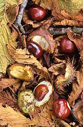 Conkers amongst fallen autumn leaves. Horse chestnut. Aesculus hippocastanum