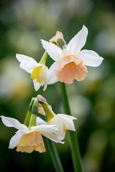 Narcissus 'Katie Heath'