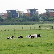 Blaricumse Meent Aristoteleslaan gaat bebeouwd worden, huizen, grasland, koeien, weide