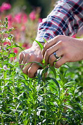 Taking stem cuttings from tender perennials (penstemon). Collecting suitable material with a knife.