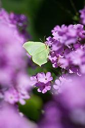 Brimstone butterfly on phlox