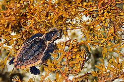 loggerhead turtle hatchling, Caretta caretta, taking refuge among sargassum weed, Sargassum natans, Juno Beach, Florida, Atlantic Ocean (c)