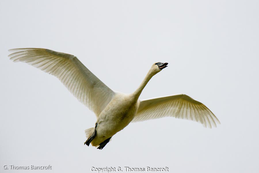 The Tundra Swan took off away from me and then circle back around and flew right over me.  I was able enjoy the beauty and grace of its flight as it climbed up from the field and headed off.  Watching the grace and athletic ability of this bird helps one appreciate why swans are considered so wonderful.