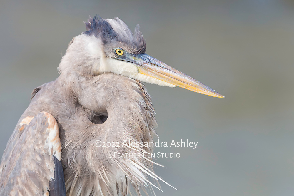Great blue heron (Ardea herodias) shows freshly arranged feathers after a good preening. Photographed on Florida's Gulf coast.
