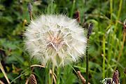 Close up dandelion seed head