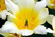 Greigii Tulip 'White Fire' Keukenhof Spring Tulip Gardens, Lisse, The Netherlands.