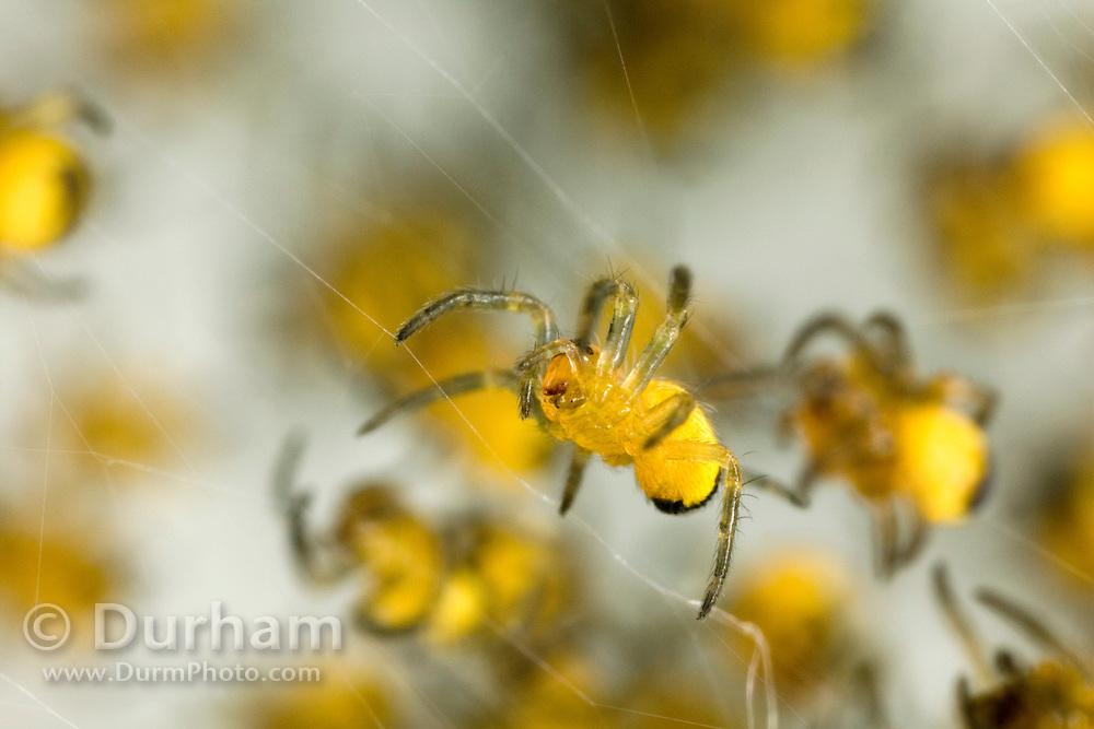 A newly hatched garden spider (Araneus diadematus) spiderling in a nest. Portland, Oregon.
