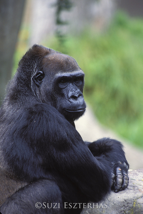 Lowland Gorilla<br /> Gorilla gorilla gorilla<br /> San Francisco Zoo, San Francisco, CA<br /> *Captive
