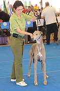 Greyhound being displayed at a pedigree dog show. The Greyhound is a breed of sighthound that has been primarily bred for coursing game and racing, and the breed has also recently seen a resurgence in its popularity as a pedigree show dog and family pet.