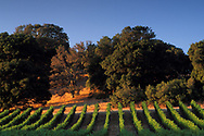 Sunset on oak trees and vineyards in the Carneros Region, Napa County, California