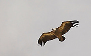 Griffon Vulture (Gyps fulvus) in flight. Photographed on Mount Arbel the Sea of Galilee in the Background