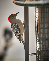 Female Red-bellied Woodpecker. Image taken with a Nikon D5 camera and 600 mm f/4 VRII lens (ISO 1100, 600 mm, f/4, 1/1250 sec)