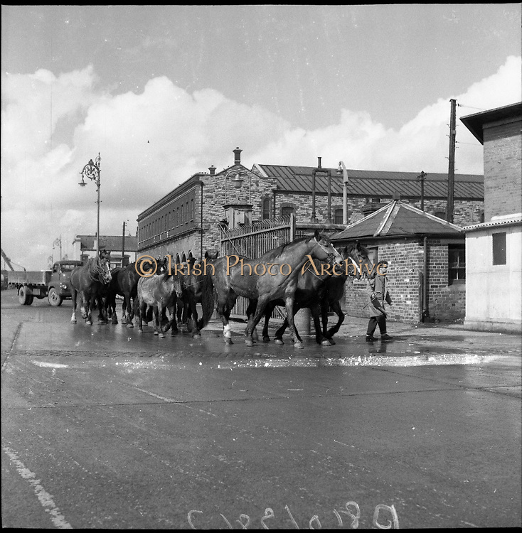 """A group of horses are lead down the street to be loaded onto The """"City of Waterford"""" to be exported on the 21st April 1961."""