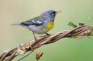 Northern Parula - Parula americana - male