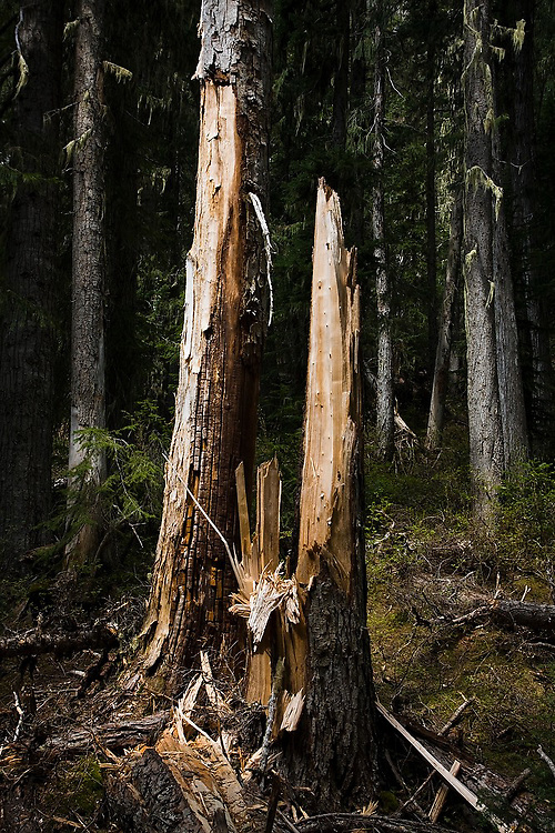 A shattered tree trunk on the trail to Wedgemount Lake in Garibaldi Provincial Park, British Columbia, Canada.