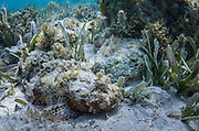 Spotted Scorpionfish (Scorpaena plumieri)<br /> Lighthouse Reef Atoll<br /> Belize<br /> Central America