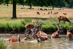 © Licensed to London News Pictures. 26/06/2020. London, UK. Calm before the storms. Deer frolic in a steam on another warm day with highs of 29c expected in Richmond Park in South West London as forecasters predict a 10c drop in temperatures tomorrow with risk of thunderstorms. Photo credit: Alex Lentati/LNP