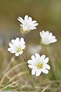 Alpine Mouse-ear - Cerastium alpinum