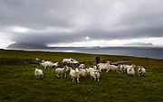 Sheep grazing in Kerry off Blasket Islands.<br /> Photo: Don MacMonagle <br /> e: info@macmonagle.com