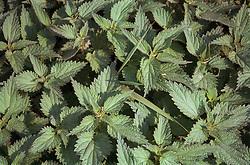 Nettle leaves,