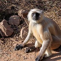 Asia, India, Ranthambore. Gray Langur monkey of Ranthambore.