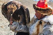 A Kazakh eagle hunter feeding his golden eagle (Aquila chrysaetos) raw meat while hunting, Altai Mountains, Bayan Ulgii, Mongolia
