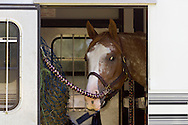 Middletown, New York - A horse looks out of its trailer at the 70th annual Middletown Rotary Horse Show at Fancher-Davidge Park on Sept. 8, 2013.