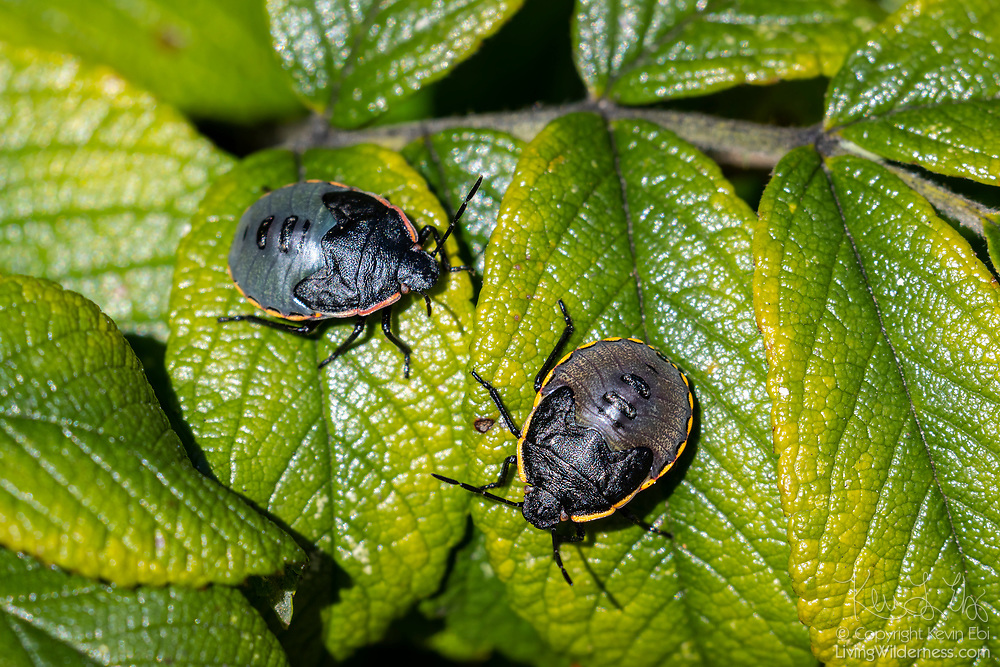 Two nymph Conchuela bugs (Chlorochroa ligata) feed on rose leaves in Everett, Washington. The Conchuela bug is  type of stink bug.
