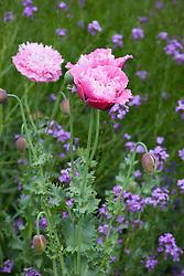 Papaver somniferum 'Perch Hill'. Opium poppy