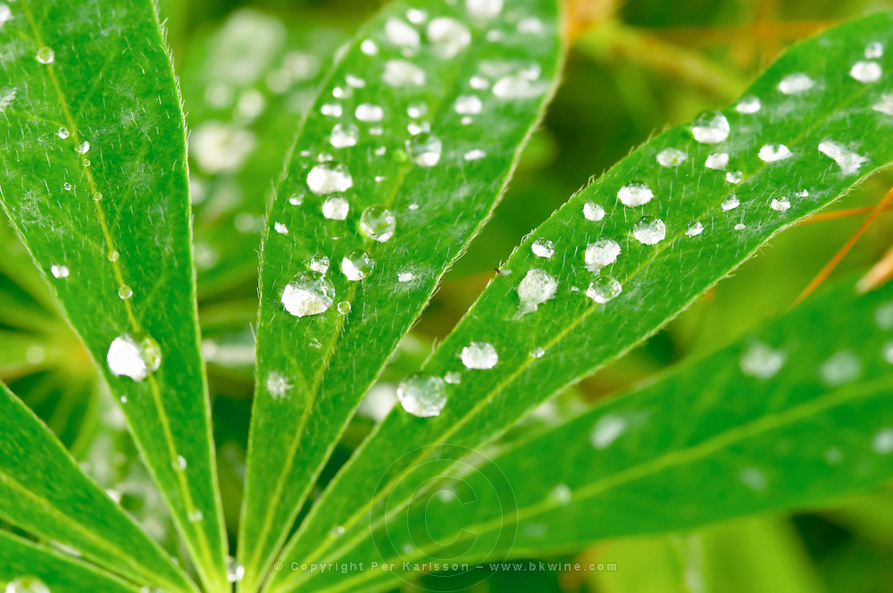 Closeup of lupin leaf with water dew drops. Lupinus Polyphyllus Smaland region. Sweden, Europe.