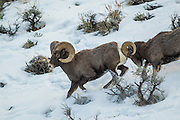 Rocky mountain bighorn sheep rams fighting