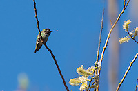 This beautiful male Anna's hummingbird is a common west coast species that is expanding it's territory every year. Once only found in Southern California and Mexico's Baja California, they have moved north as far as British Columbia as a result of ornamental plantings and hummingbird feeders that keep these little flying beauties fed year-round. This was one of several seen feeding on salmonberry flowers or resting in willows in Bellevue Washington on a beautiful spring Pacific Northwest afternoon.