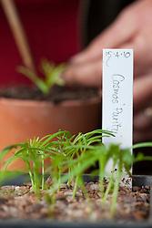 Pricking out Cosmos 'Purity' seedlings. Cosmos bipinnatus 'Purity'