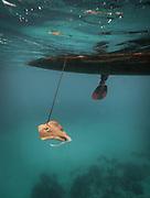 Catching a stingray. Fisherman named Tarumpit fishing with duggout canoe off Boheydulang island.