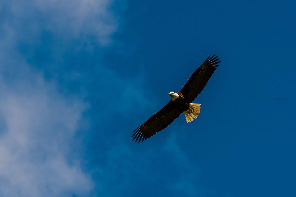 Bald Eagle, Fortress of the Bear (wildlife sanctuary), Sitka, Alaska USA.